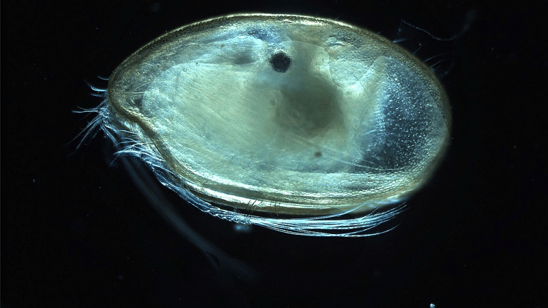 Ostracode - Anna Syme